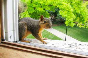Chillicothe Squirrel Removal
